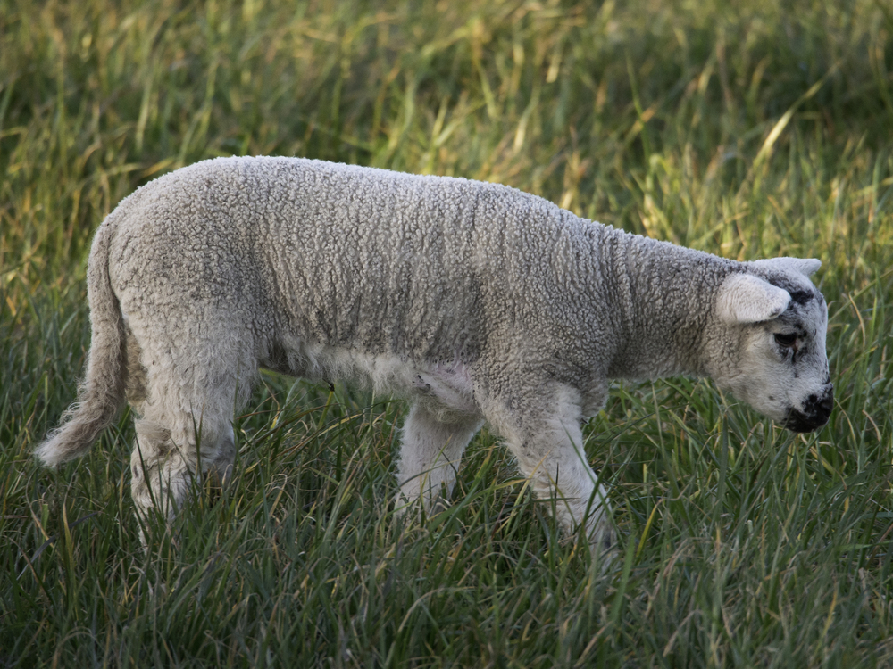 Don't Send Your Lambs to Slaughter